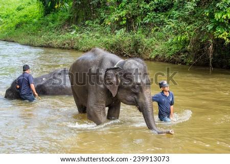 KUALA GANDAH, MALAYSIA - JANUARY 2, 2014: Staff of Kuala Gandah Elephant Conservation Centre washing a young elephant in a river - stock photo