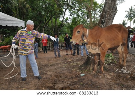 KUALA LUMPUR - NOVEMBER 6: An unidentified Malaysian Muslim cares and comforts his cow before offering it as sacrifice during Eid Al-Adha  the Feast of Sacrifice November 6, 2011 in Kuala Lumpur, Malaysia. - stock photo