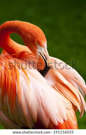 Kuba Flamingo is peering his feathers - stock photo