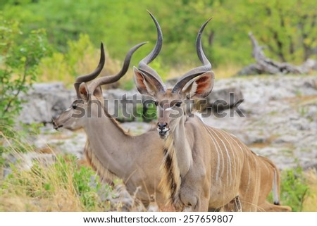 Kudu Bull - African Wildlife Background - Spiral Beauty from Nature - stock photo