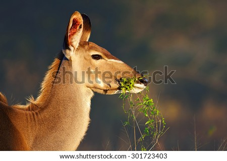 Kudu cow (Tragelaphus strepsiceros) portrait eating green leaves - Kruger National park (South Africa) - stock photo