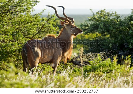 Kudu male antelope standing next to a thorn bush and staring in the late afternoon sun - stock photo