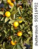 Kumquat tree with fruit and leaves. Also called kinkan. - stock photo
