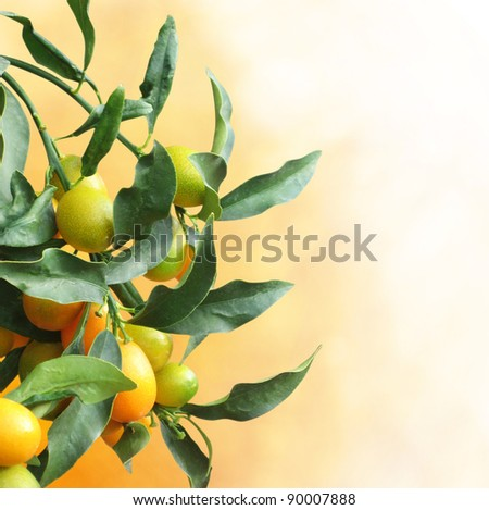 Kumquat tree with fruit and leaves over background with copy space - stock photo