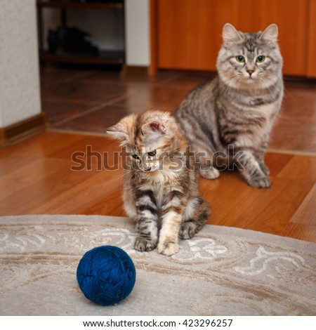 Kuril Bobtail cat playing with a ball of yarn. Mama cat watching him. Thoroughbred cat. Cute and funny kitten. Pet. - stock photo