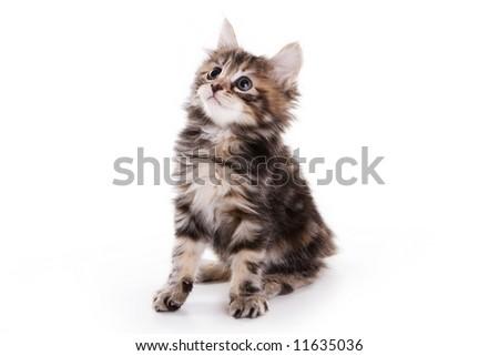 Kuril Bobtail kitten on white - stock photo