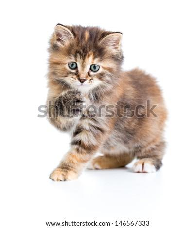 Kuril bobtail tortoiseshell coat coloring cat with paw up - stock photo