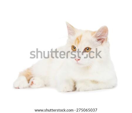 Kurilian Bobtail cat is isolated on white background - stock photo