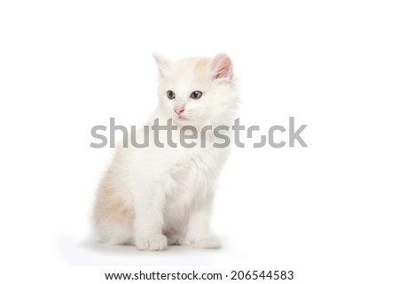 Kurilian Bobtail kitten isolated over white background - stock photo