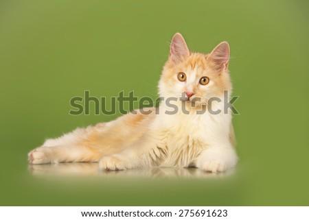 Kurilian Bobtail kitten on the green background - stock photo