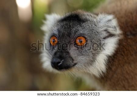 Lémurien de Madagascar aux yeux orange. - stock photo