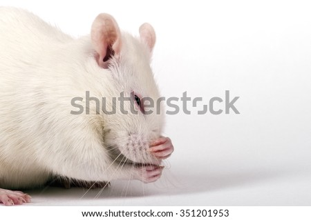 lab rat hides his nose from the smell in the paws, closeup on white background - stock photo