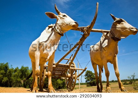 Labor bulls Cambodia. Agriculture Cambodia is not developed! For thousands of years farmers worked the land her hands to the plow harnessed oxen hardworking.  - stock photo