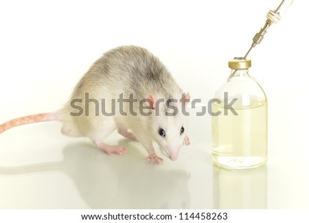 laboratory animal research rat - stock photo