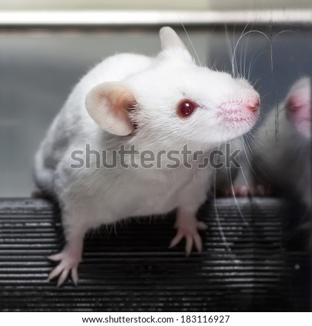 Laboratory mices in the experiment test. - stock photo