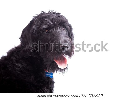 Labradoodle puppy in studio - stock photo