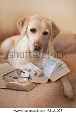 Labrador a retriever with textbooks - stock photo
