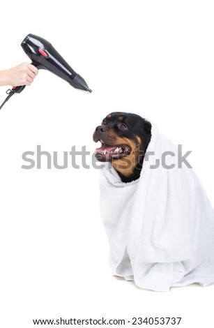 Labrador after bathing. Dry the hair dryer, on the white background. - stock photo