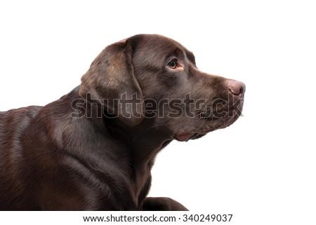 Labrador chocolate color on a white background. horizontal photo. - stock photo