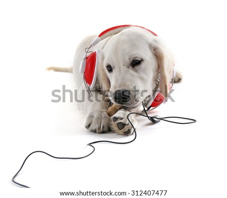 Labrador dog chewing bone with headphones isolated on white - stock photo