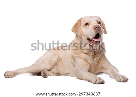 Labrador dog in front of a white background - stock photo