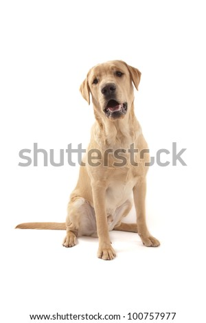 Labrador dog isolated on white - stock photo
