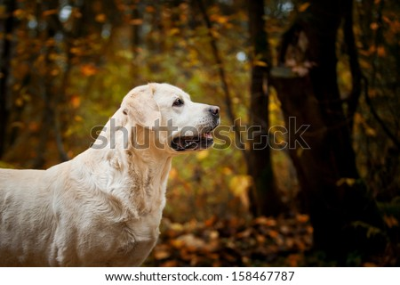 Labrador dog outdoors the autumn - stock photo