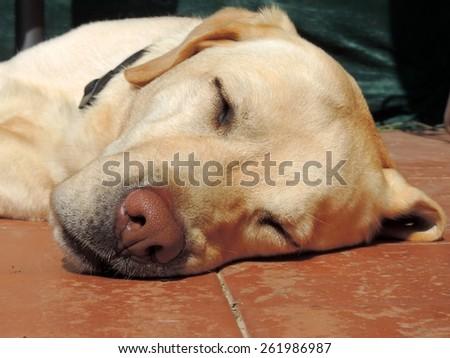 Labrador Golden Retriever sleeps in the courtyard. - stock photo