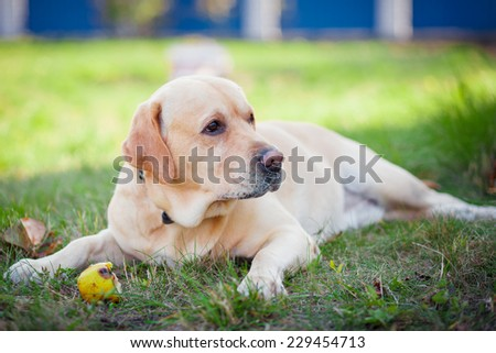 Labrador is playing with a ball - stock photo
