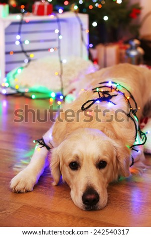 Labrador lying with garland on wooden floor and Christmas decoration background - stock photo
