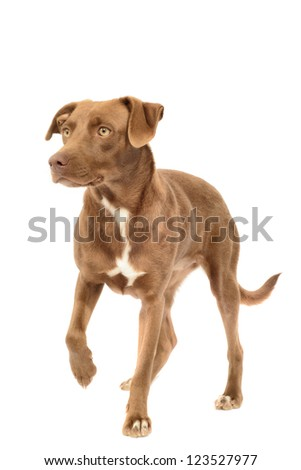 Labrador Mix, Canis Familiaris Isolated on White - stock photo