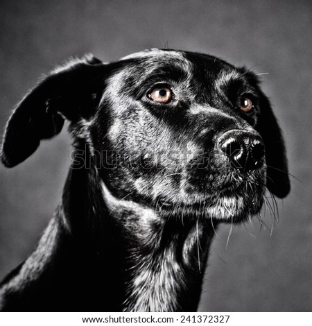 labrador mixed breed, portrait, studio shot - stock photo