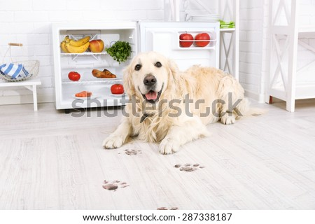 Labrador near fridge and muddy paw prints on wooden floor in kitchen - stock photo