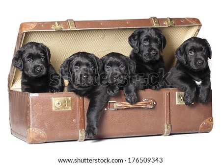 Labrador puppies sitting in a retro suitcase - stock photo