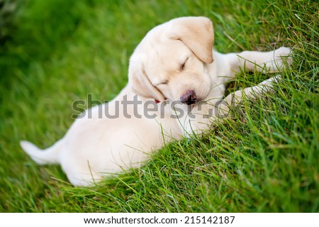 labrador puppy - stock photo