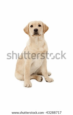 Labrador Puppy - stock photo
