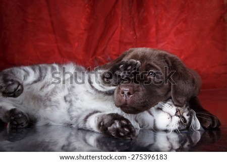 Labrador puppy and kitten breeds Maine Coon. Cat and dog friends - stock photo