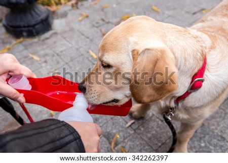 Labrador puppy dog drinking water from a plastic bottle - stock photo