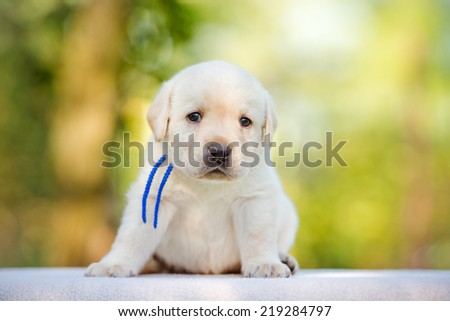 labrador puppy outdoors - stock photo