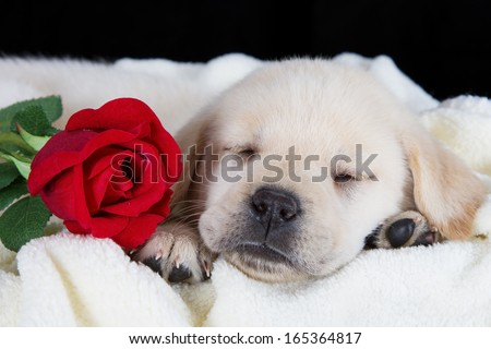 Labrador puppy sleeping on blanket with red rose studio shot - stock photo