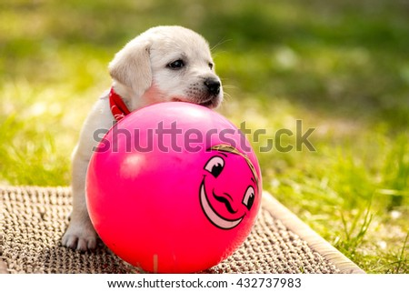 Labrador puppy with a ball. Beautiful dog puppy Labrador Retriever playing with rubber ball on grass - stock photo