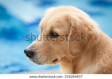 Labrador retriever cute puppy  - stock photo