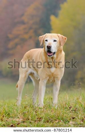 Labrador Retriever Dog in autumn - stock photo