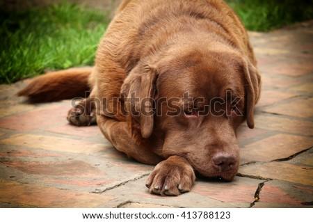 labrador retriever dog portrait - stock photo