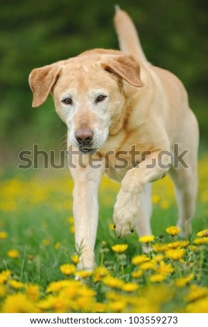 Labrador Retriever Dog running - stock photo