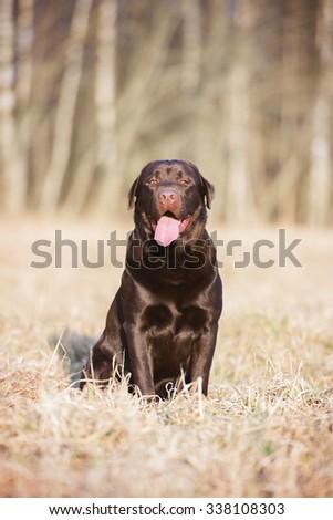 labrador retriever dog sitting on a field - stock photo