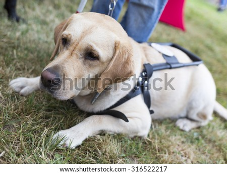 Labrador retriever guide dog before the last training for the animal. The dogs are undergoing various training before finally given to the physically disabled people.  - stock photo