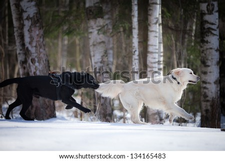 labrador retriever in nature - stock photo