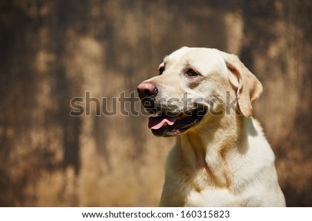 Labrador retriever is waiting in front of the dark old wall - copy space - stock photo