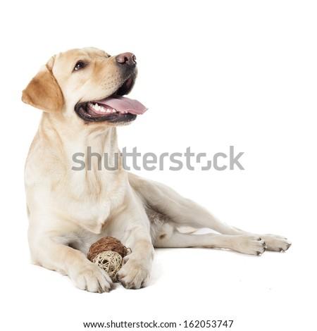 Labrador Retriever isolated on a white background - stock photo